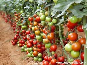 सल्यानमा इजरायली प्रविधिबाट तरकारी खेती शुरु